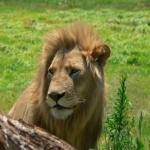 Wait lion attack